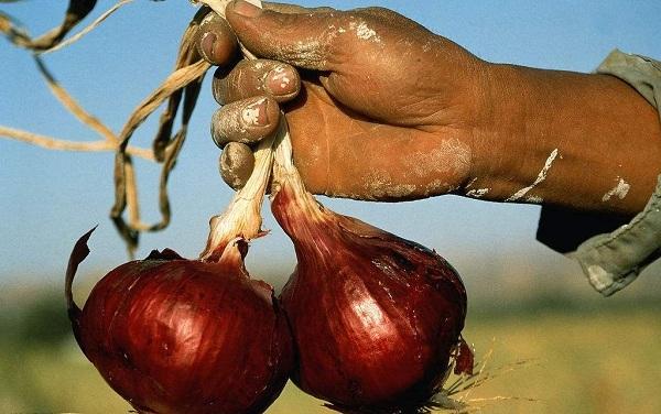 """没有一颗洋葱可以离开印度:南亚""""洋葱危机""""全面爆发-牛吧云播"""